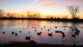 Flock of ducks floating on a tranquil lake at sunset